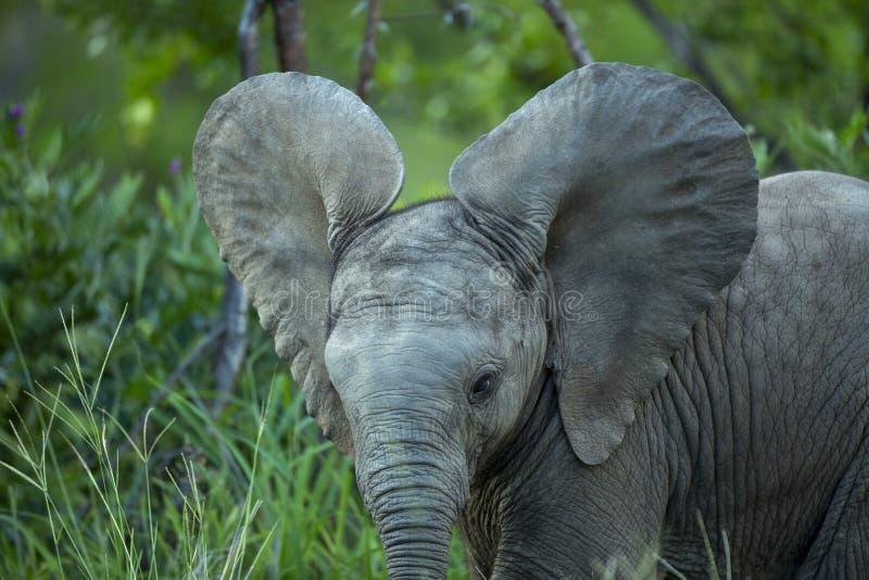 Los oídos jovenes del becerro del elefante aumentaron imagen de archivo libre de regalías
