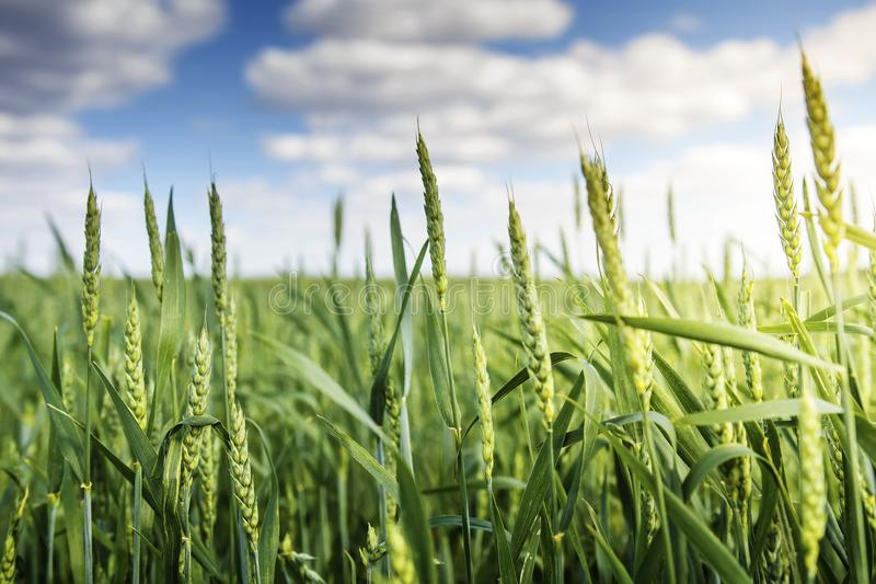 Los oídos verdes del trigo maduran contra el cielo azul con las nubes blancas por la mañana del comienzo del verano Fondo del tri imagen de archivo