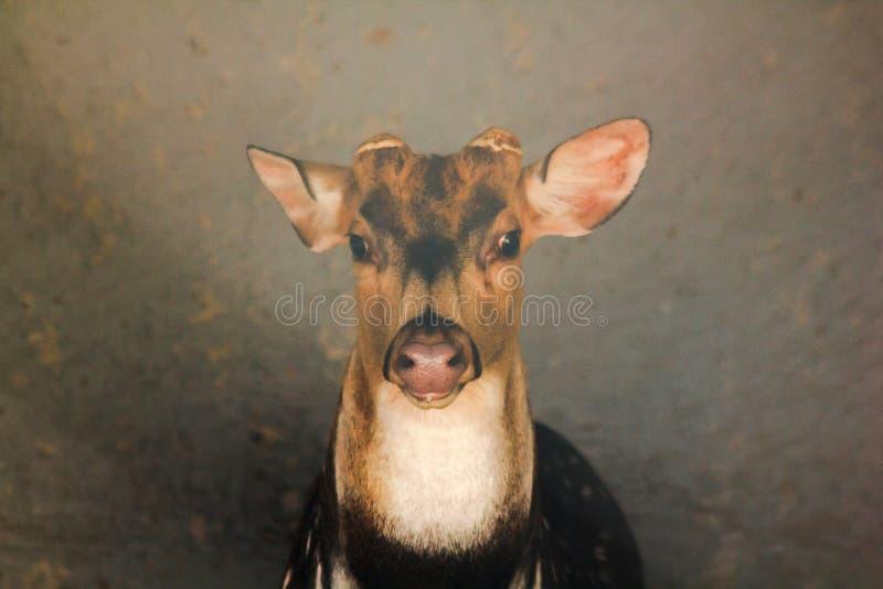 Los ojos de los ciervos están mirando algo fotografía de archivo libre de regalías
