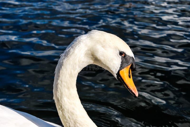 Los ojos del cisne fotos de archivo libres de regalías