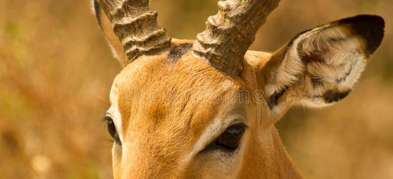 Los ojos del impala fotos de archivo