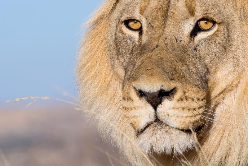 Los ojos del león foto de archivo libre de regalías