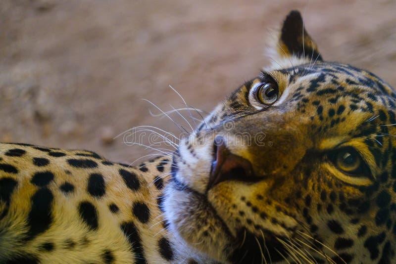 Los ojos del leopardo est?n mirando imagenes de archivo