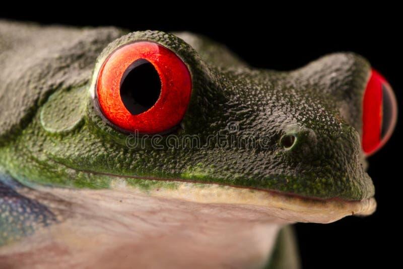 Los ojos vibrantes de una rana arbórea observada roja, callydrias de Agalychnis imagenes de archivo