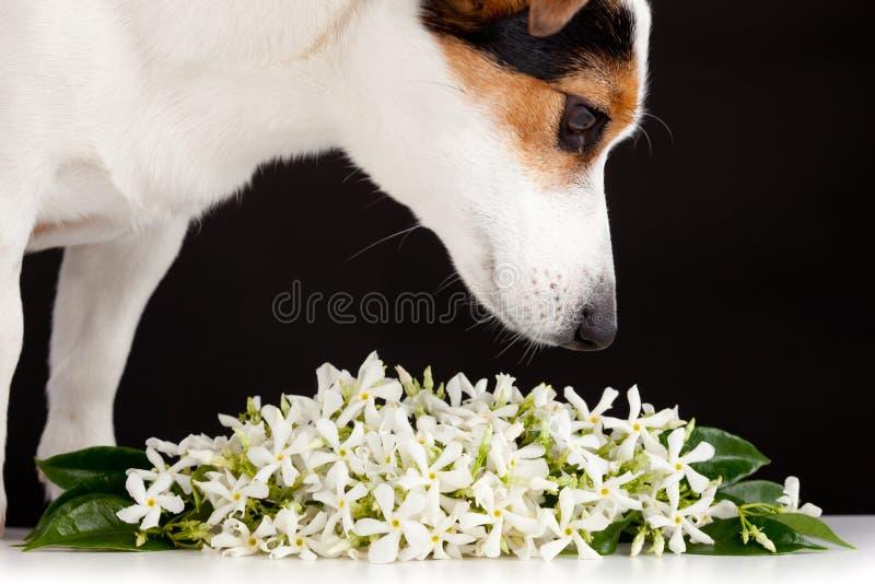 Los olores de Jack Russell les gustan las flores del jazmín foto de archivo