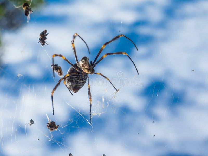 Los orbe-tejedores de seda de oro Nephila también llamaron comúnmente orbe-tejedores de oro, arañas de madera gigantes, o arañas  imagen de archivo