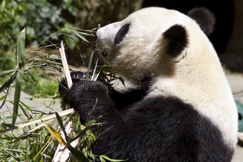 Los osos de la panda comen brotes de bambú imagenes de archivo