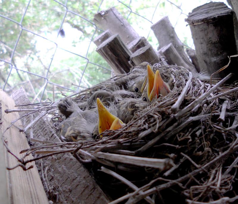 Los pájaros de bebé fotografía de archivo