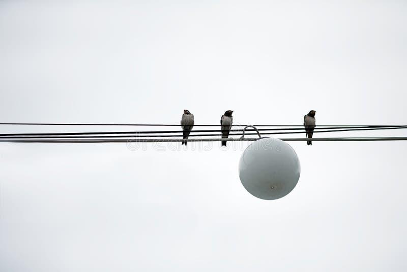 Los pájaros de los gorriones se sientan en poder de los alambres imagen de archivo