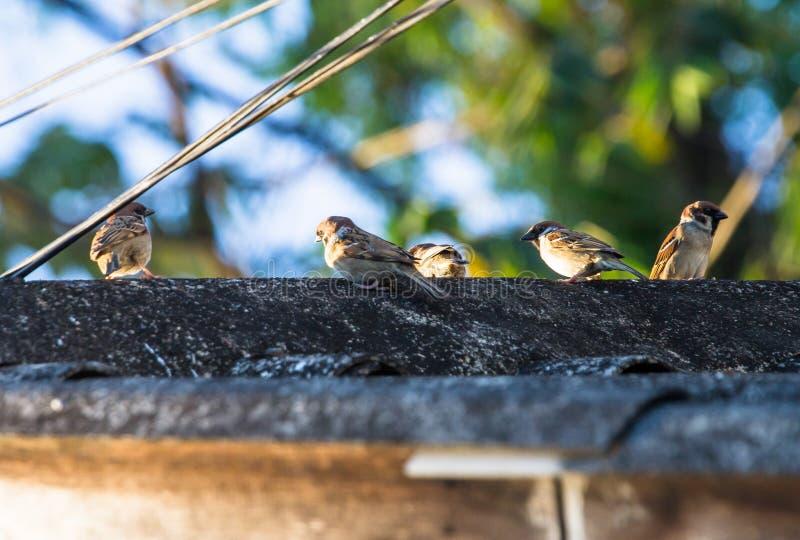 Los pájaros del gorrión encontraron comúnmente en las áréis agrícolas, comunidad clara fotografía de archivo