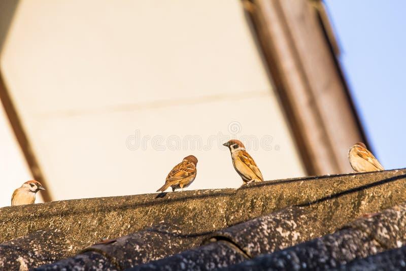 Los pájaros del gorrión se encaraman en el tejado de la casa imágenes de archivo libres de regalías