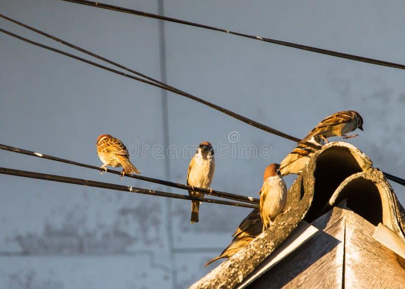 Los pájaros del gorrión se encaraman en el tejado y un cable eléctrico fotografía de archivo