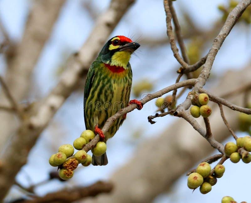 Los pájaros hermosos en Tailandia como la consumición de la fruta madura y de muchas de ellos están en pares foto de archivo