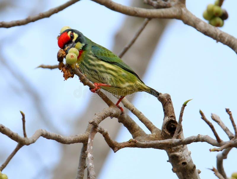 Los pájaros hermosos en Tailandia como la consumición de la fruta madura y de muchas de ellos están en pares imagenes de archivo