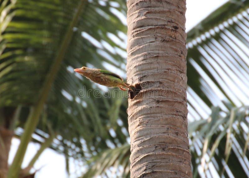 Los pájaros hermosos en Tailandia como la consumición de la fruta madura y de muchas de ellos están en pares imágenes de archivo libres de regalías