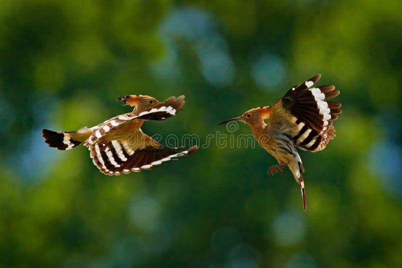 Los pájaros luchan la mosca, Hoopoe, epops del Upupa, pájaro anaranjado agradable con en el hábitat verde del bosque, Bulgaria Pá fotografía de archivo libre de regalías