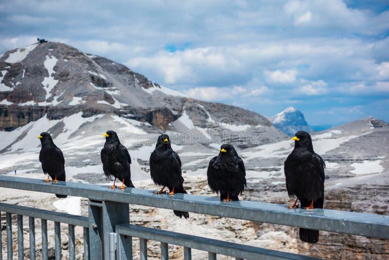 Los pájaros salvajes se alinean en la barandilla con el fondo de Passo fotografía de archivo libre de regalías