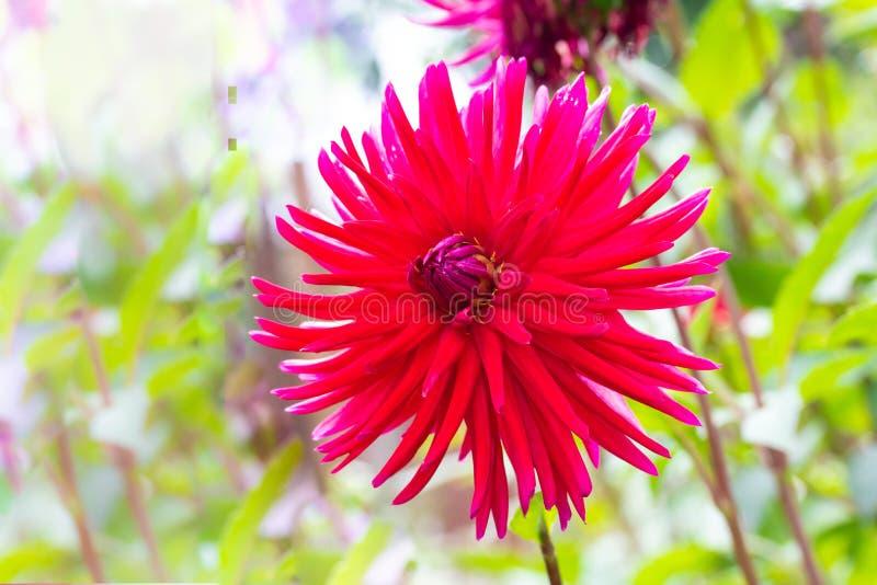 Los pétalos agudos y largos de la dalia roja magnífica florecen en th fotografía de archivo libre de regalías