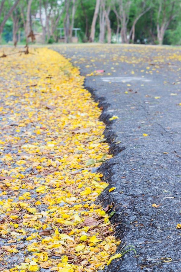 Los pétalos amarillos brillantes caidos de la fístula de la casia flowersGolden el árbol de la ducha en la tierra, al contrario d imagen de archivo