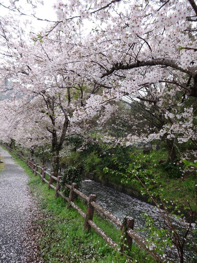 Los pétalos de la flor de cerezo cayeron como escamas de la nieve en lluvia ligera foto de archivo