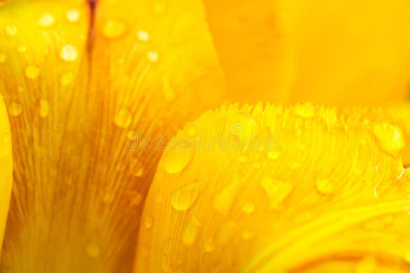 Los pétalos de un tulipán amarillo con descensos de la mañana rocían - primer - el fondo abstracto amarillo imagen de archivo libre de regalías