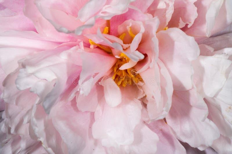 Los pétalos rosados de la flor se cierran para arriba fotografía de archivo