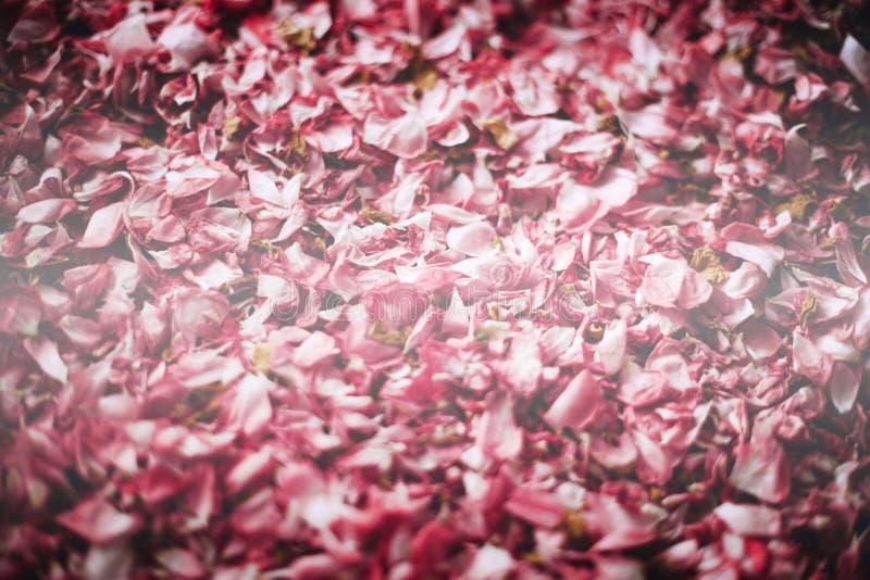 Los pétalos secados de una rosa del té foto de archivo libre de regalías