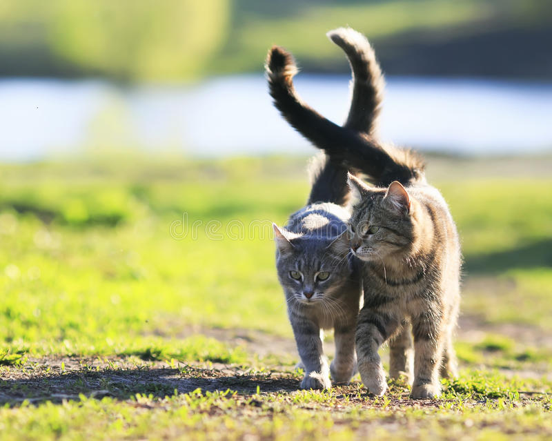 Los pares de amantes rayaron el gato que caminaba en hierba verde al lado de un Sun imagen de archivo