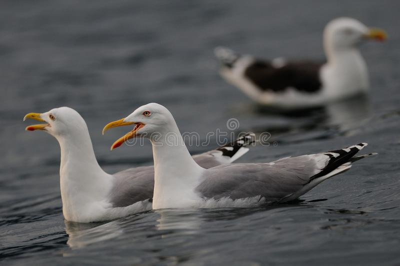 Los pares de la gaviota de arenques están llamando, Mar del Norte imagen de archivo libre de regalías