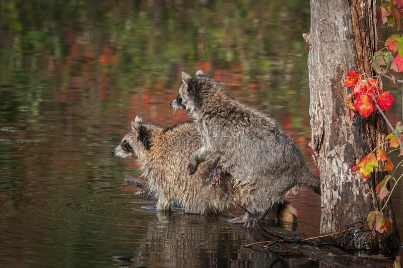 Los pares de lotor del Procyon de los mapaches miran a la izquierda de registro fotos de archivo libres de regalías