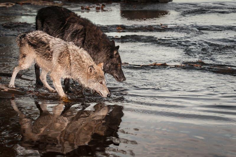 Los pares de lupus de Grey Wolves Canis miran en el río imágenes de archivo libres de regalías