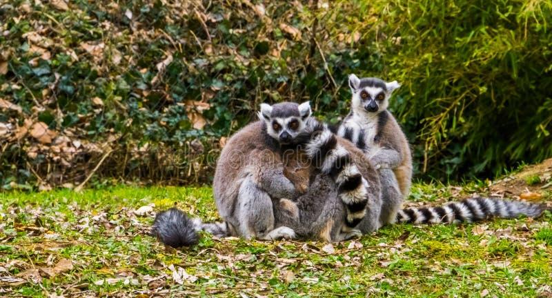 Los pares del anillo ataron los monos del lémur que se abrazaban, comportamiento animal adorable imagen de archivo libre de regalías