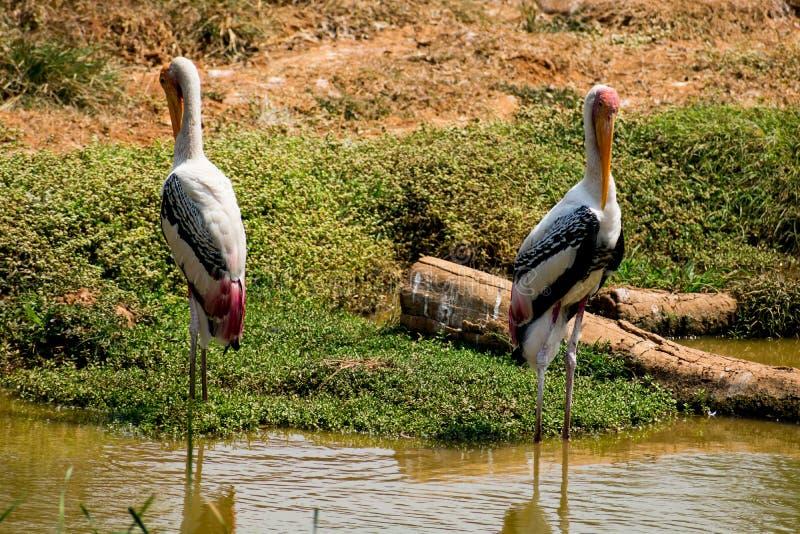Los pares del pájaro pintado de las cigüeñas que se coloca en constante en el agua fangosa para los pescados cerca ven imagenes de archivo