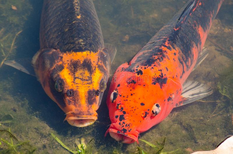 Los pares hermosos mezclaron pescados Anaranjado-negros de la carpa de la suposición del color en la charca de agua poco profunda foto de archivo libre de regalías