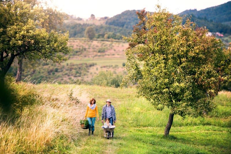 Los pares mayores con la nieta que cultiva un huerto en el patio trasero cultivan un huerto fotos de archivo