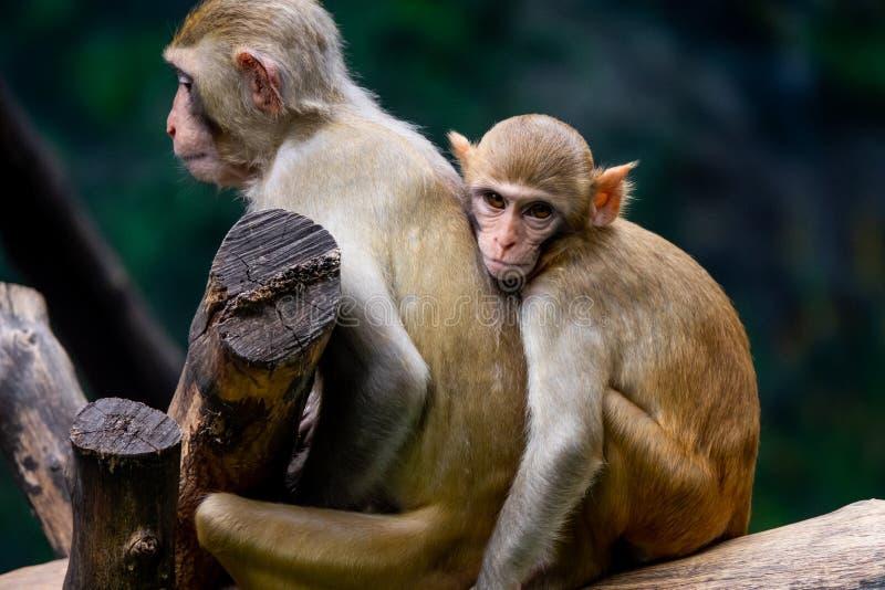 Los pares miman y el mono del bebé en el parque zoológico fotografía de archivo libre de regalías