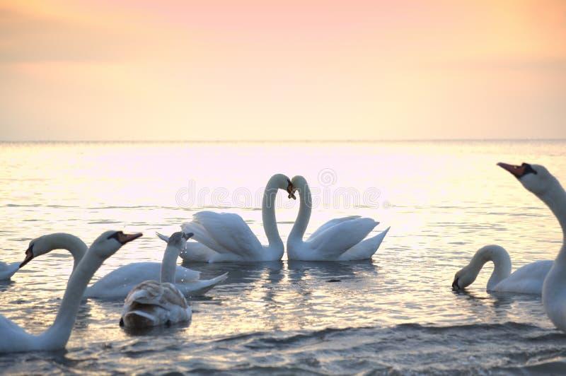 Los pares y los cisnes románticos se reúnen en el mar de la mañana imagen de archivo libre de regalías