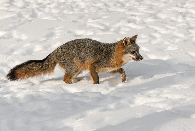 Los pasos del cinereoargenteus de Grey Fox Urocyon enderezan con invierno de la nieve foto de archivo libre de regalías
