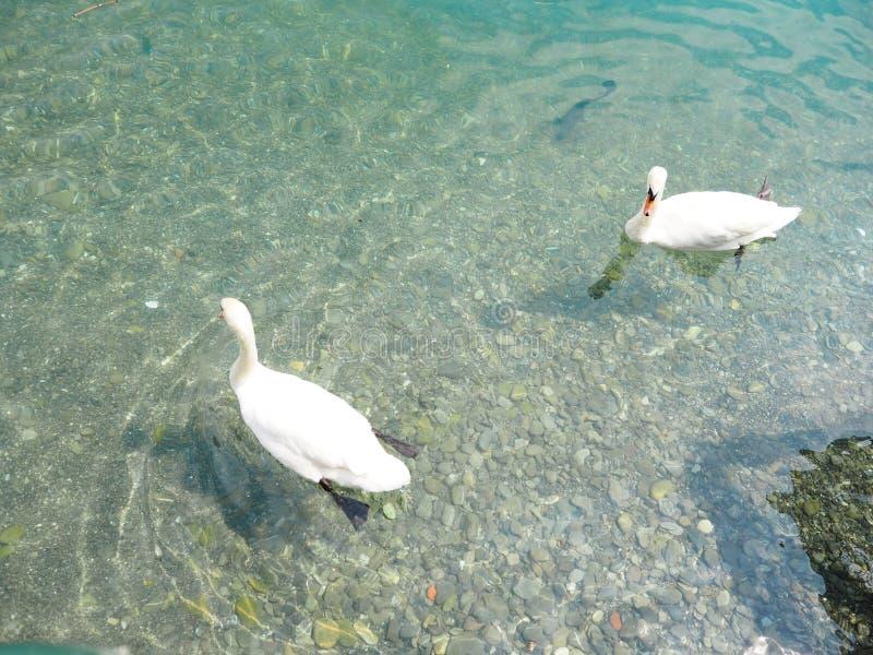 Los patos nadan en el lago Vevey imagenes de archivo