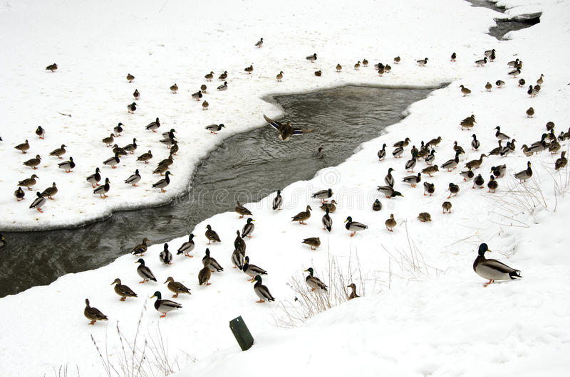 Los patos nievan en invierno cerca de corriente congelada del río fotografía de archivo