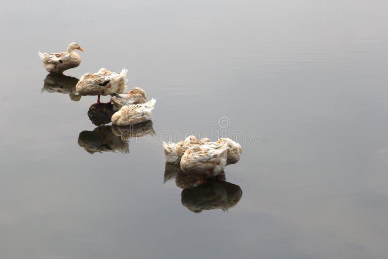 Los patos salvajes pueden transferir gripe aviar y los virus H5N1 a Asia, a Europa y a los E.E.U.U. foto de archivo