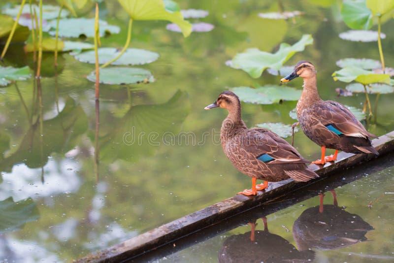 Los patos se colocan en la comida de madera de la barra y del hallazgo en la charca foto de archivo libre de regalías