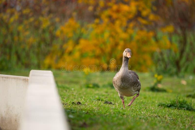 Los patos son el motivo principal de estas imágenes foto de archivo
