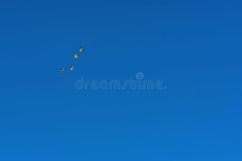 Los patos vuelan en la formación contra el cielo azul fotografía de archivo