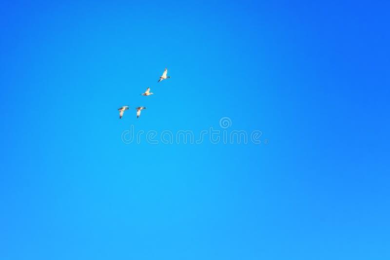 Los patos vuelan en la formación contra el cielo azul fotos de archivo libres de regalías