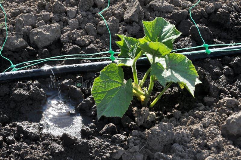 Los pepinos se producen en la irrigación por goteo foto de archivo