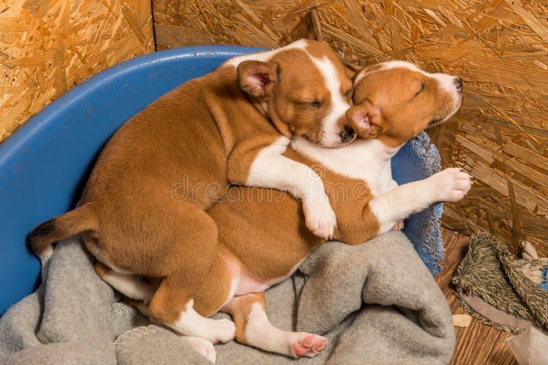 Los pequeños bebés divertidos dos perros de perritos de Basenji están durmiendo imagen de archivo