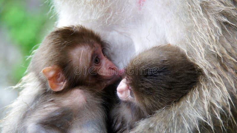 Los pequeños macaques gemelos en mono de la nieve de Jigokudani parquean foto de archivo libre de regalías