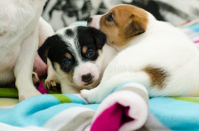 Los pequeños perros blancos recién nacidos del terrier de Russell del enchufe están jugando en una manta colorida foto de archivo