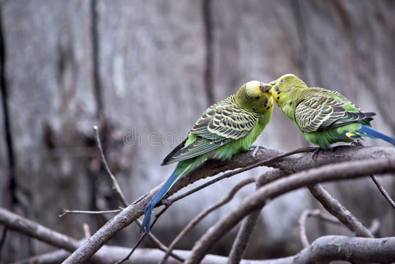 Los periquitos se están besando fotos de archivo